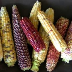 Joseph Lofthouse's corn. Photo by Anya Aether