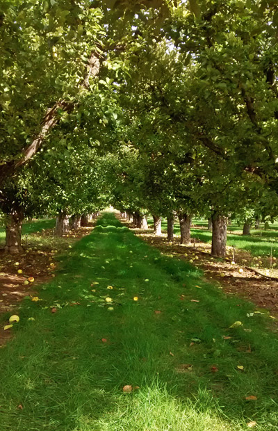 Zollinger cultivates more than 1,000 apples trees, in 14 varieties. (Mel;anie Fenstermaker photo)