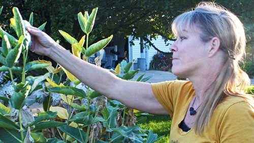 'CRAZY MONARCH LADY' — Becky Yeager nurtures milk 'weed' in her Nibley Garden. (Morgan Pratt photo)