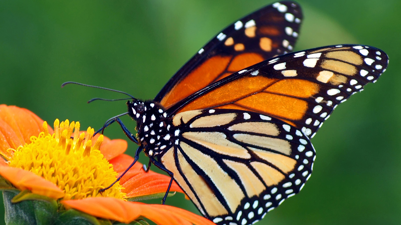 Nibley residents want to protect the monarch butterfly population from insecticide spraying.